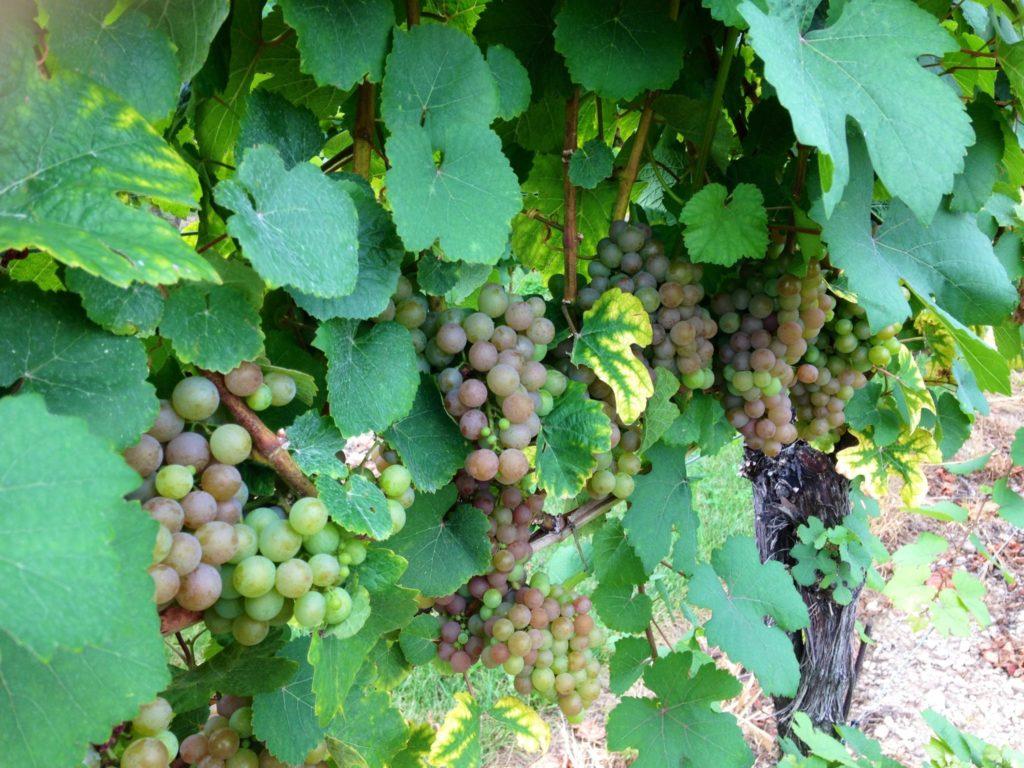 wine grapes Canada