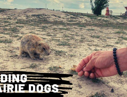 Feeding Prairie Dogs